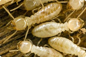 Termite Control Services.